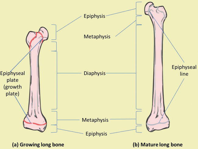 bone growth at the epiphyseal plate